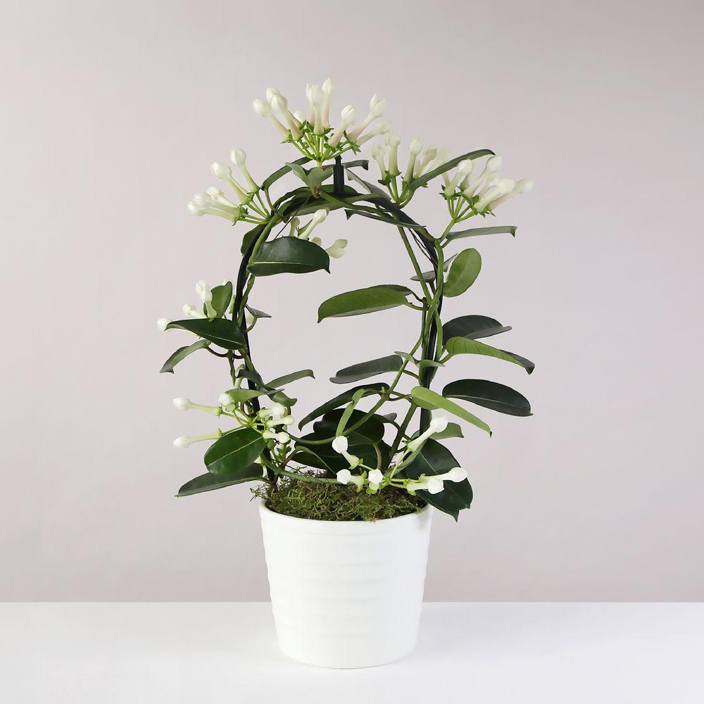 Stephanotis Planter - flowers
