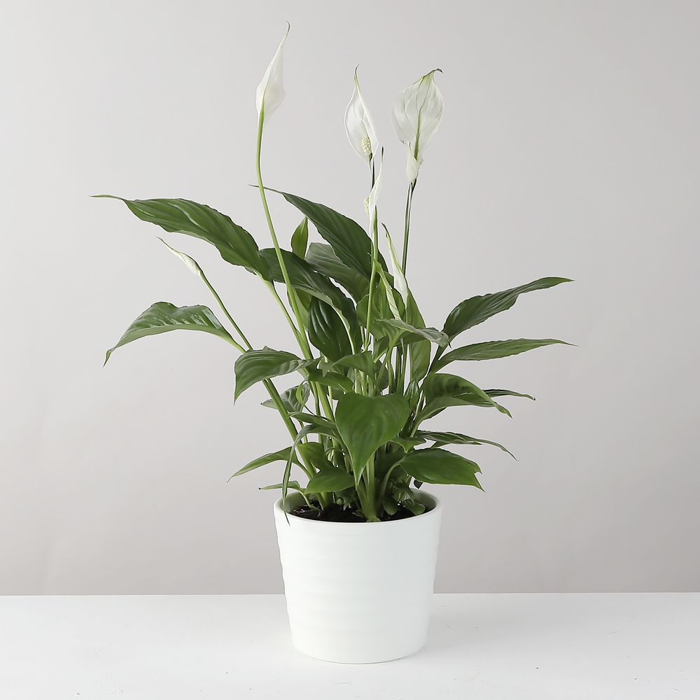 Peace Lily plant in White Ceramic Pot - flowers