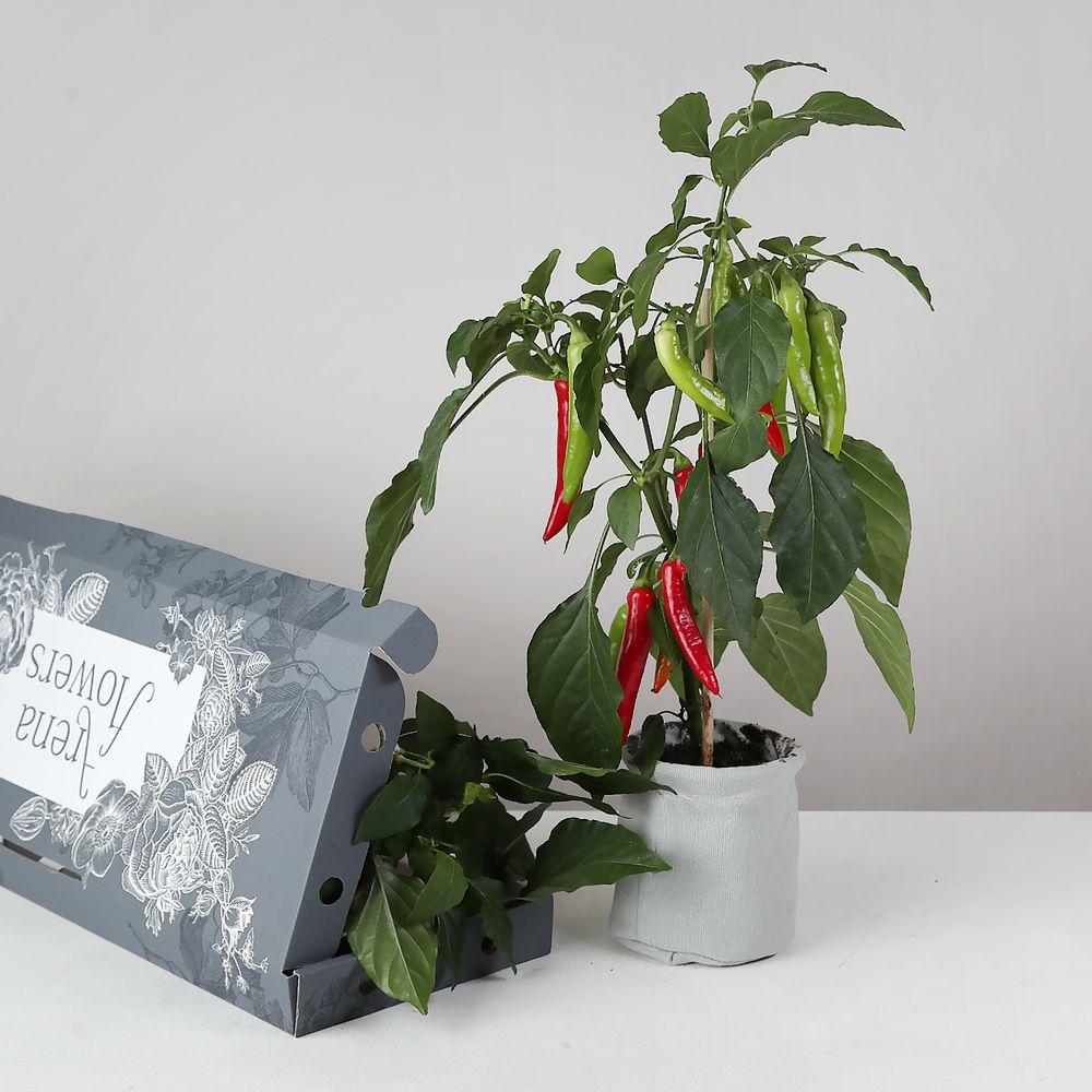 Flowers Letterbox Chilli Plant - flowers
