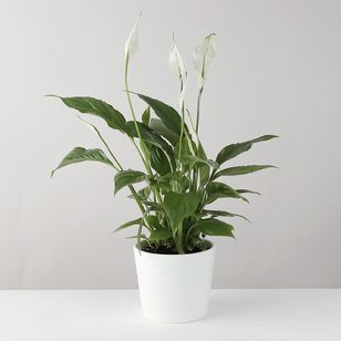 Peace Lily in White Ceramic Pot