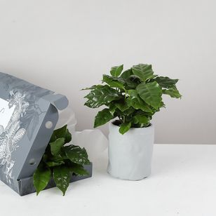 Letterbox Coffee Plant