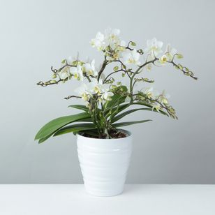 Orchid 'Wild' white