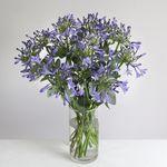 Organic Agapanthus Bouquet - flowers