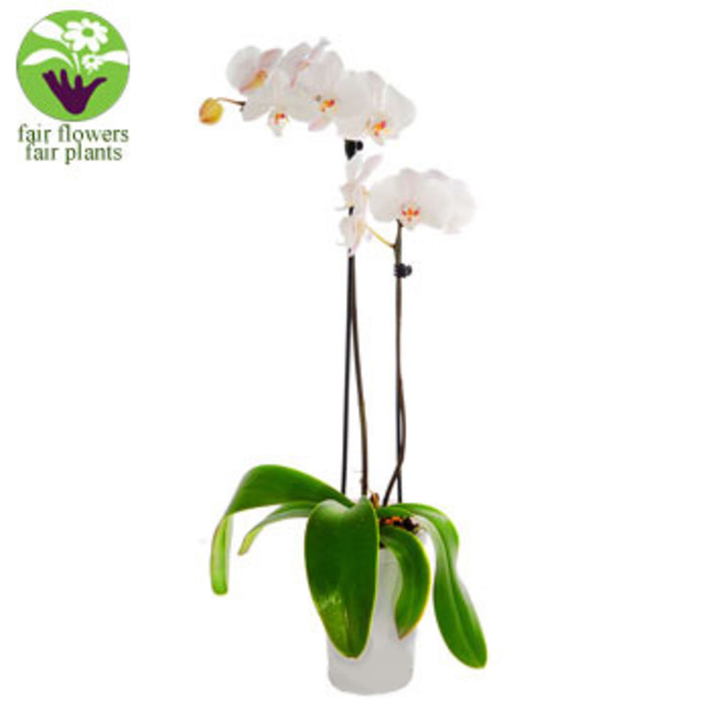 Image of White Orchid - flowers