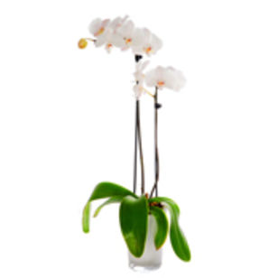 Witte Phalaenopsis Orchidee In Pot